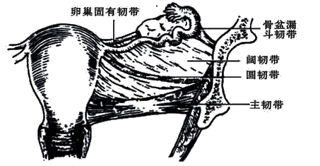 组织结构:子宫体壁分三层,内为黏膜层(子宫内膜),中为肌层,外为浆膜层