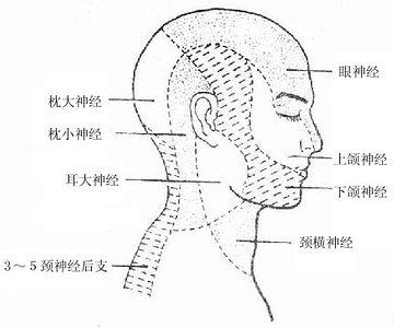 面部皮肤粗略结构图